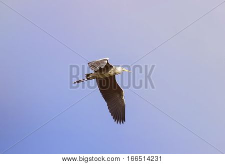 grey crane flying through the sky, wings spread widely