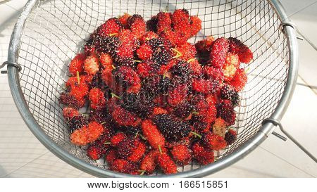 Fresh mulberry fruit in sieve aluminum on white background from my small plant in house Macro photo focus select at center.