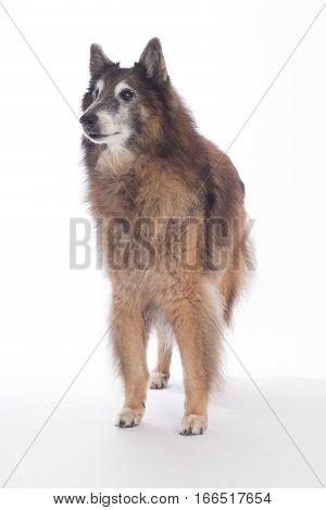 Senior dog Belgian Shepherd Tervuren on white studio background