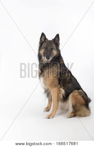 Dog Belgian Shepherd Tervuren white studio background