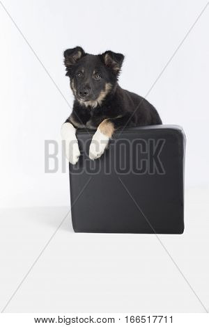 Puppy dog Border Collie hanging on pouf on a white studio background