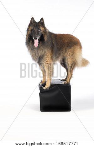 Dog Belgian Shepherd Tervuren standing on pouf white studio background
