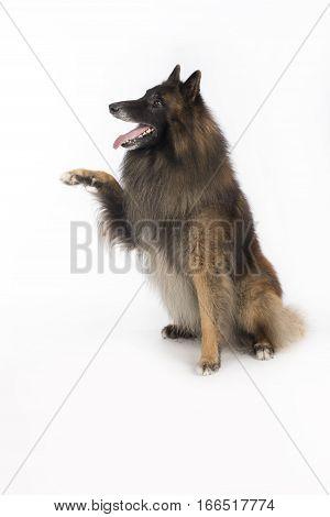 Dog Belgian Shepherd Tervuren sitting on white studio background front paw up
