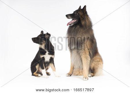 Two dogs puppy Border Collie and Belgian Shepherd Tervuren sitting on white studio background