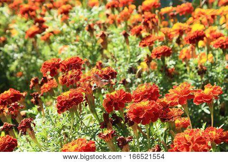 Marigolds and Macroglossum stellatarum on summer garden