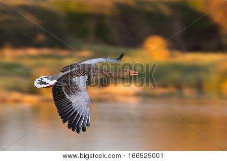 Greylag Goose (Anser anser) in flight facing right
