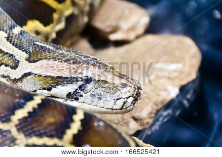 Photo of python head in the midst of stones