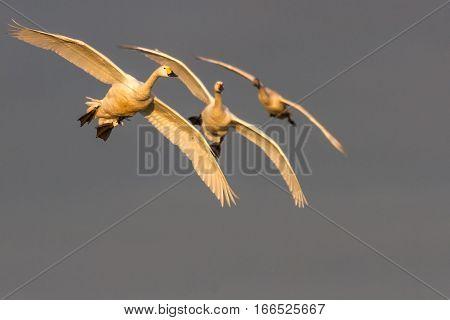 Bewick's Swans (Cygnus columbianus) in flight in beautful light