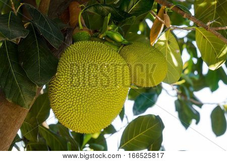 Jackfruit close up of tropical fruit on tree