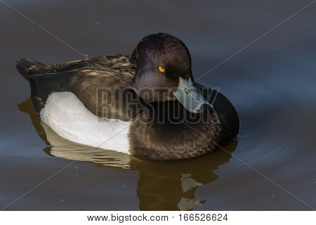Tufted Duck (Aythya fuligula) on calm water looking at camera