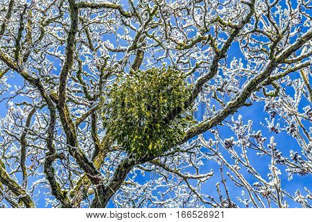 Mistletoe In The Tree