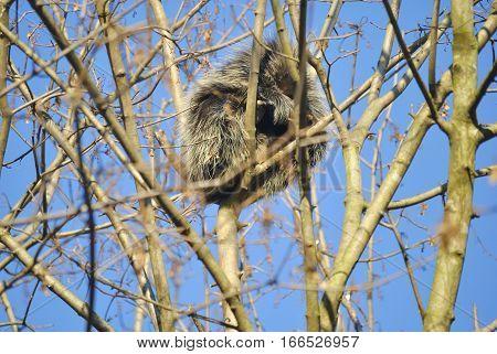 North American porcupine (Erethizon dorsatum) is on the tree in winter. In Zagreb Zoo, Croatia.