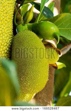 Jackfruit close up of tropical fruit on tree
