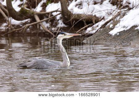 svimming grey heronon non frozen part of Mlynsy nahon in Tovacov