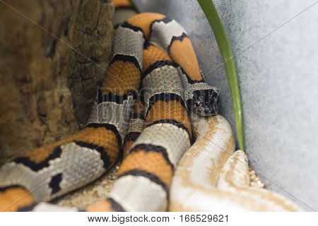 Gray Banded And Albino Stripped Kingsnakes