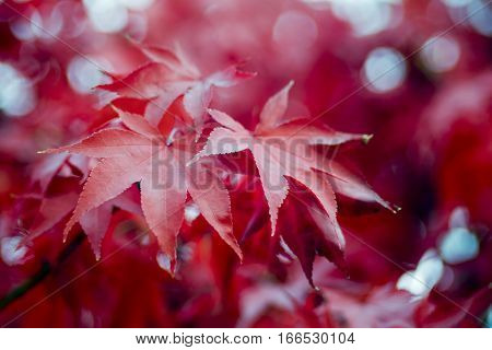A closeup of red autumn leaves. Abstract background