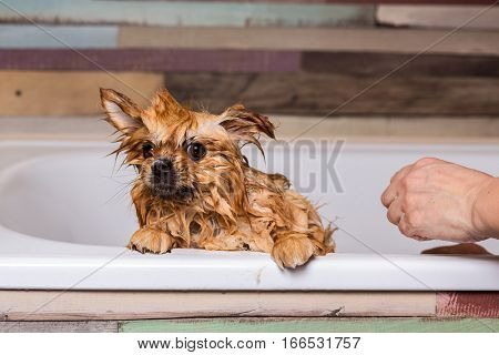 Wet little dog frightened, sitting in the bathroom. Bathing pets