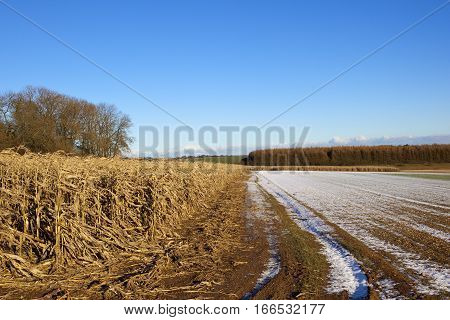 Maize Plants And Larch Woodland