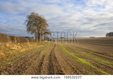 Ash Tree And Straw Stubble