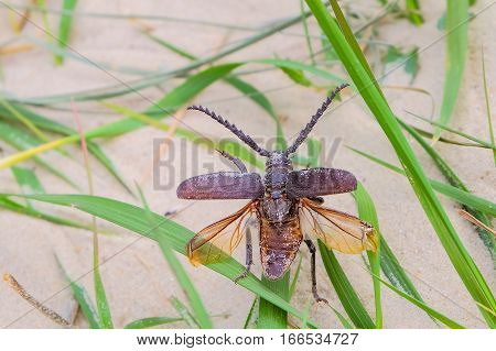 Beetle barbel woodcutter with spread wings closeup