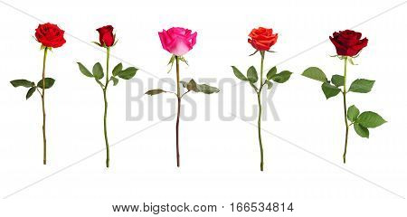 Five roses of different colors on a white background
