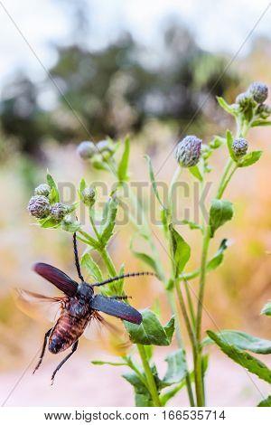 Blurred natural background. Beetle-barbel woodcutter flying on a wild flower stalk.
