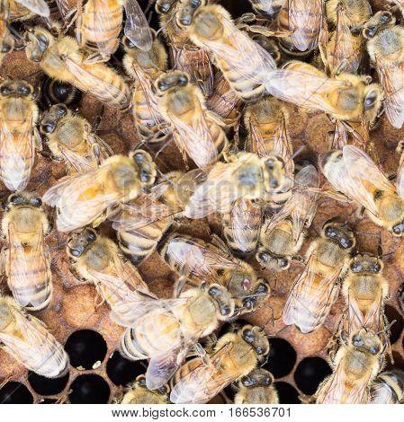 Varroa mite on thorax of Italian worker honey bee.