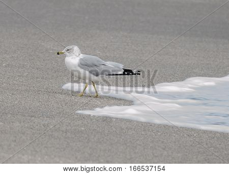 RING BILLED GULL EVADING THE WAVE ON THE BEACH