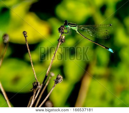 A GREEN DAMSELFLY LOWERING ITS BLUE BANDED TAIL WHILE ALIGHTING ON A TWIG