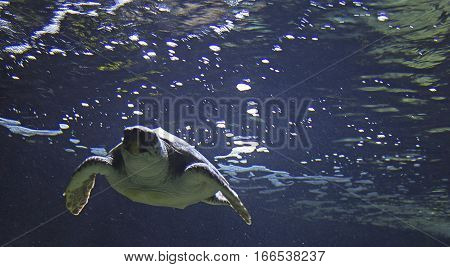 sea turtle swimming in the sea water