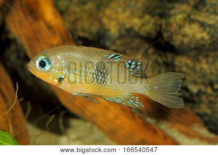 Socoloffs gold cichlid (Thorichthys socoloffi) - female