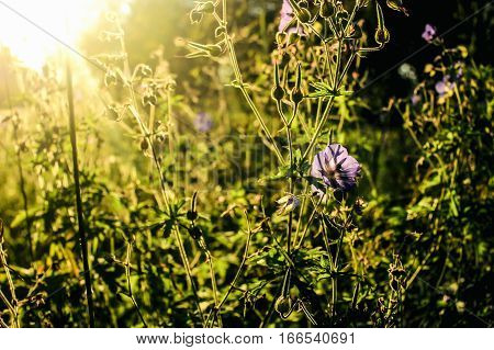 Beautiful Flower Plant In Grassland In Sunshine, Summer Nature Meadow