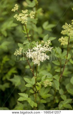 Filipendula ulmaria, commonly known as meadowsweet or mead wort. This plant contains salicylic acid (the basis of aspirin).