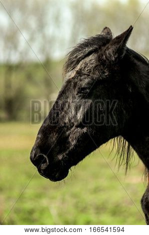 Beautiful Luxury Black Horse Walking And Grazing In A Field, Summer In Country Side