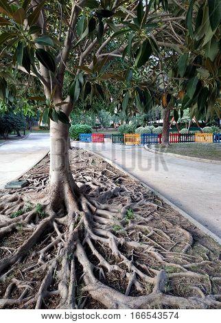 Ficus Tree roots. Aguadulce park. Province of Almeria. Spain