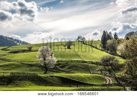When spring comes everything turns green in Bukovina region in Romania. Picturesque countryside slopes cover with juicy green grass and trees blossom. Shepherds take sheeps to graze lands. Romanian nature turns back to life after months of winter hibernat