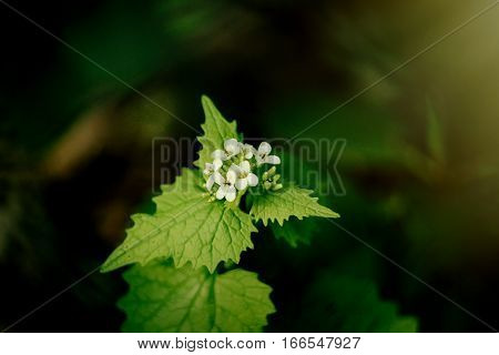 Beautiful Nettle With White Flowers  In Sunlight In Botanical Garden