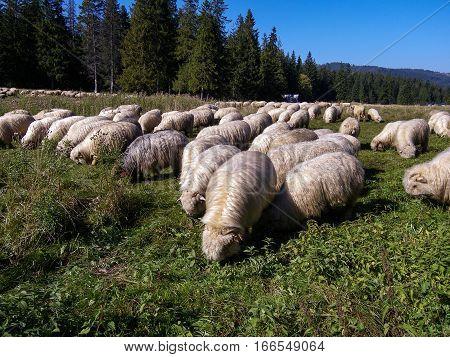 Sheep on a mountain pasture. Tatry. Poland