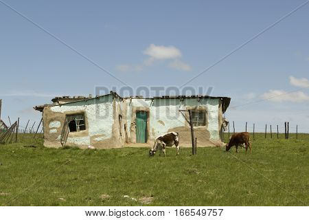 Rural African village house with cows grazing in the foreground