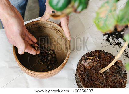 Replanting houseplant. A man puts stones on the bottom of the pot for drainage.