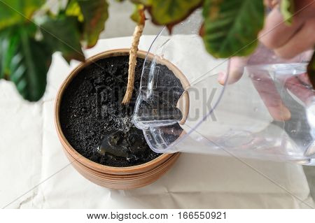 Replanting houseplant. A man pours the plant from the jug.