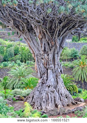 Thousand years old dragon tree in Tenerife
