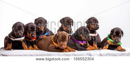 Group Of Dobermann Puppies isolated on white background