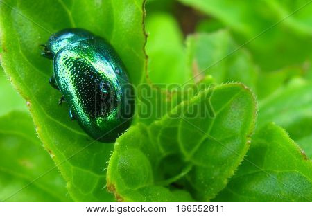 Green ladybug on green leaves in an italian garden