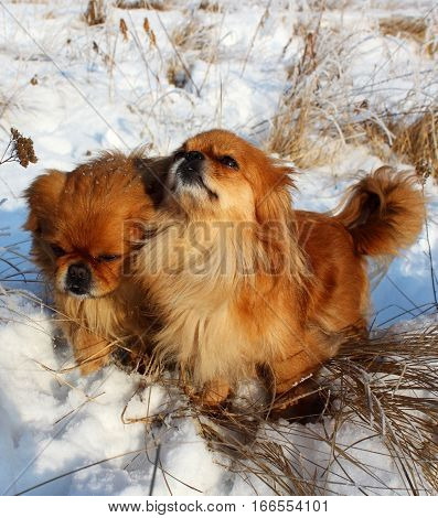 A pair of Pekingese in the snow