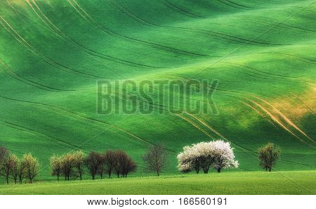 Blooming Trees Against Green Fields In Spring In South Moravia
