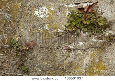 Chipping Old Painted Wall with Plants and Vines Growing
