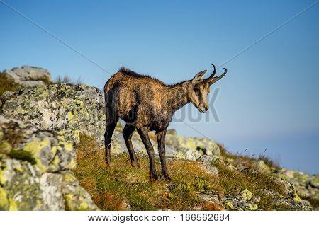Single chamois in Tatra mountains rocks Poland