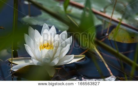 Nymphaea alba - wild floating water lily with white petals and yellow stamen.