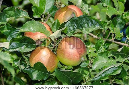 Apple foliage and ripening red fruits in autumn